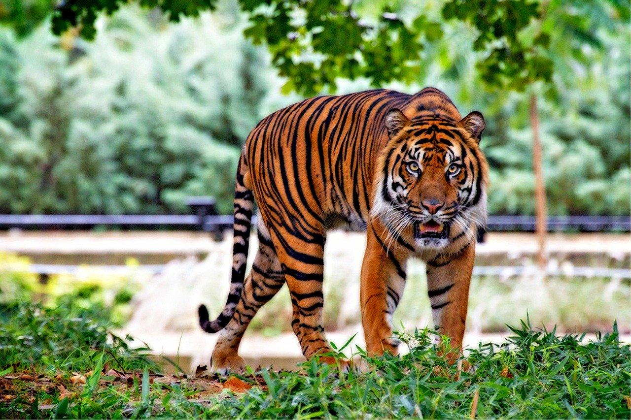 Tafsir Mimpi melihat harimau