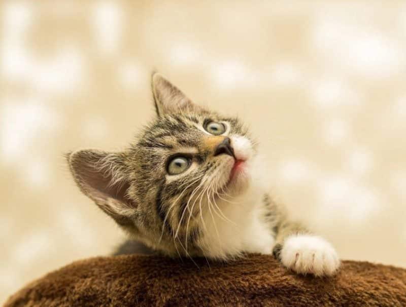 Contoh Eksposisi Definisi Tentang Kucing