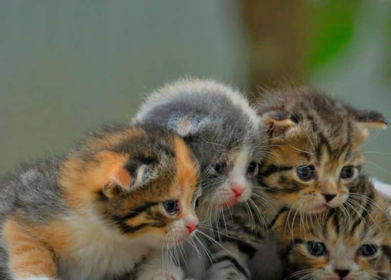Contoh Teks Deskripsi Hewan: Kucing