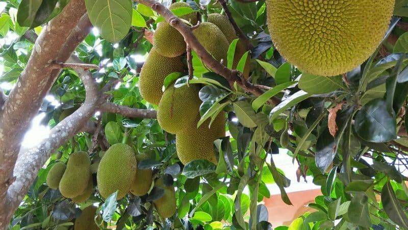 Contoh Teks Observasi Pohon Nangka