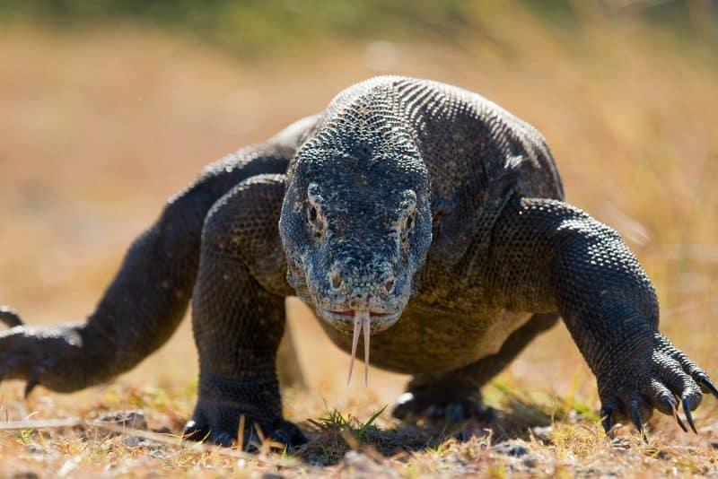 Contoh Teks Observasi Singkat Tentang Komodo