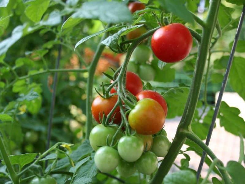 Contoh Teks Observasi Tentang Tumbuhan Tomat