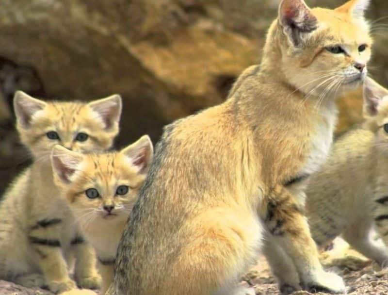 Contoh Teks Ulasan Cerpen Kyai Mercon dan Keluarga Kucing