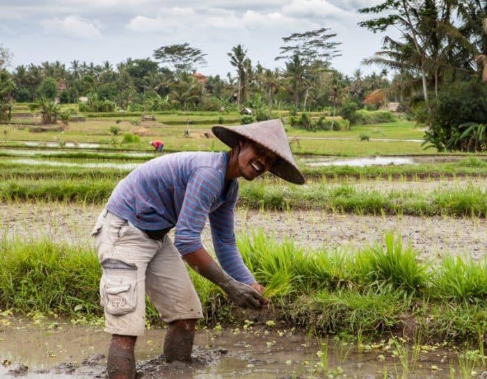Penanaman padi