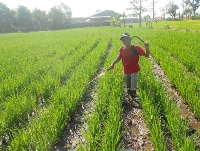 Pemberian pupuk pada tanaman padi