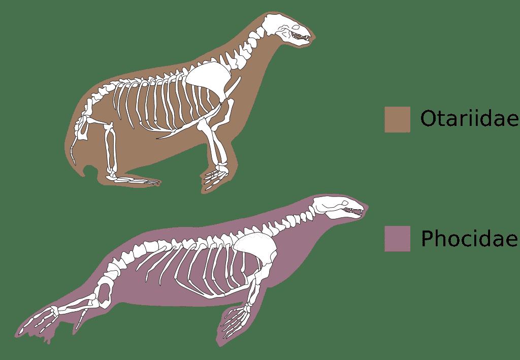 Anatomi Anjing Laut