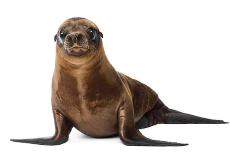 Anjing Laut Asli