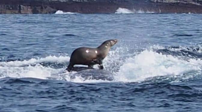 Anjing Laut Ross
