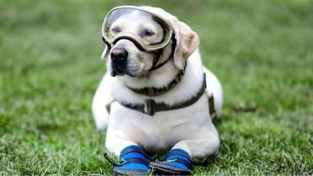 Anjing penyelamat