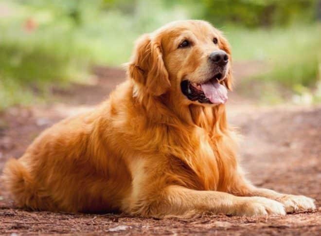 Asal Muasal Anjing Golden Retrivier