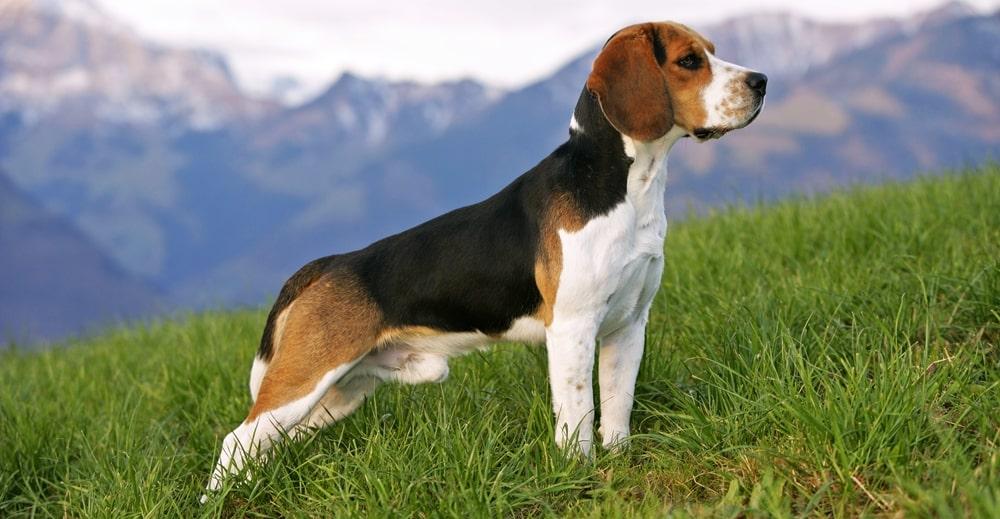5 Anjing Beagle : Ciri, Variasi Jenis, Perawatannya (Terlengkap) 4