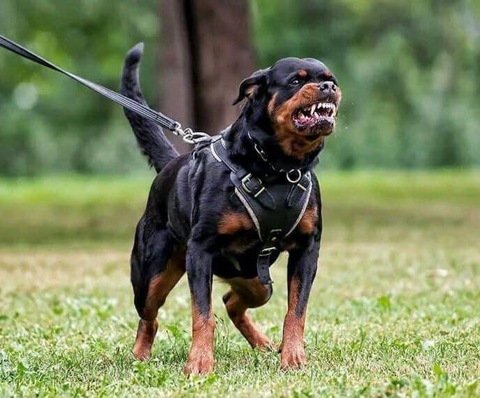 Cara Melakukan Pelatihan Pada Anjing Rottweiler
