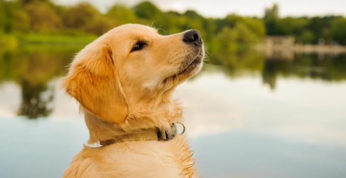 Anjing Golden : Karakteristik, Variasi Jenis, kelebihan, Harga (Lengkap) 1