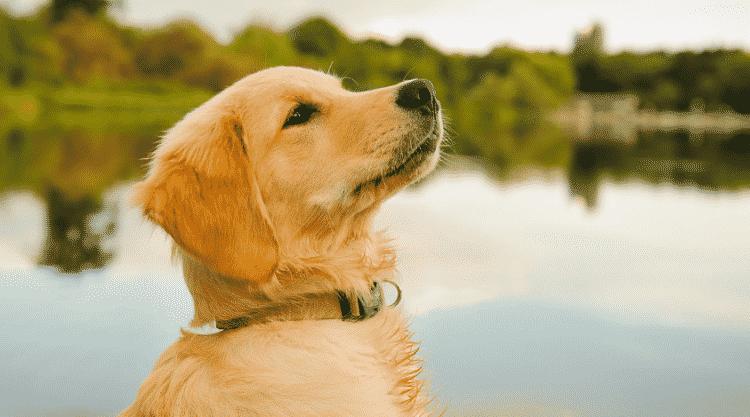 Cara Menjaga Kesehatan Anjing Golden