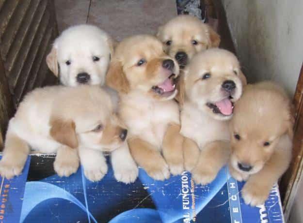Cara Merawat Anak Anjing Golden