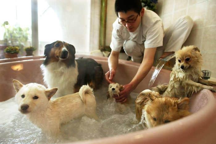 Cara Merawat Anjing Golden yang sudah Dewasa