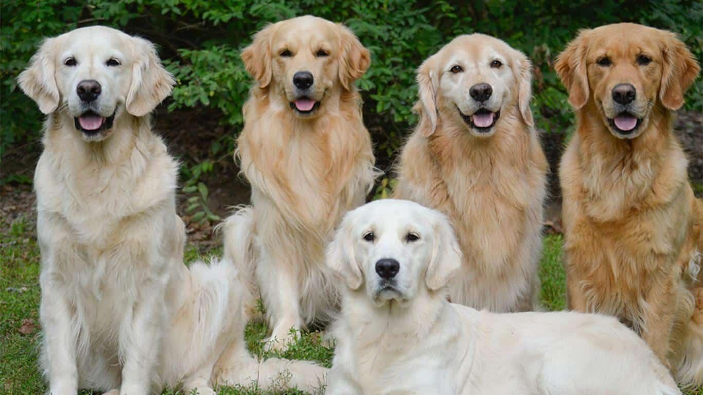Ciri-Ciri Anjing Golden
