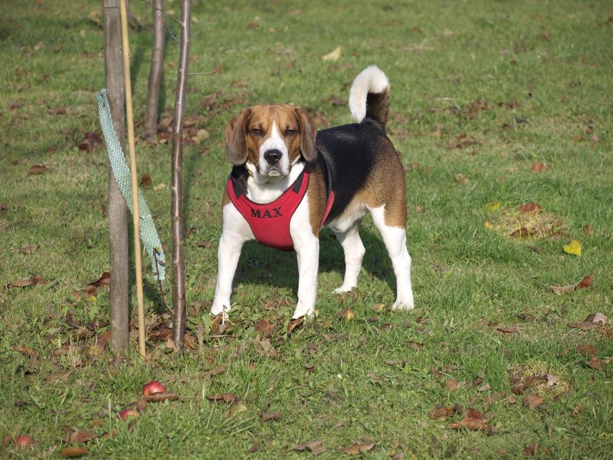 Fakta Tentang Anjing Beagle