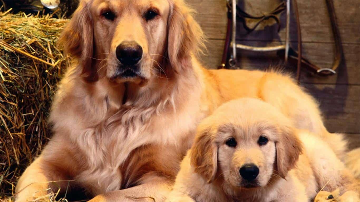 Karakteristik Anjing Golden