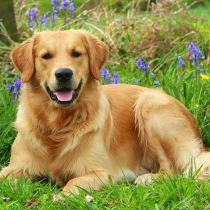 Kelebihan Anjing Golden