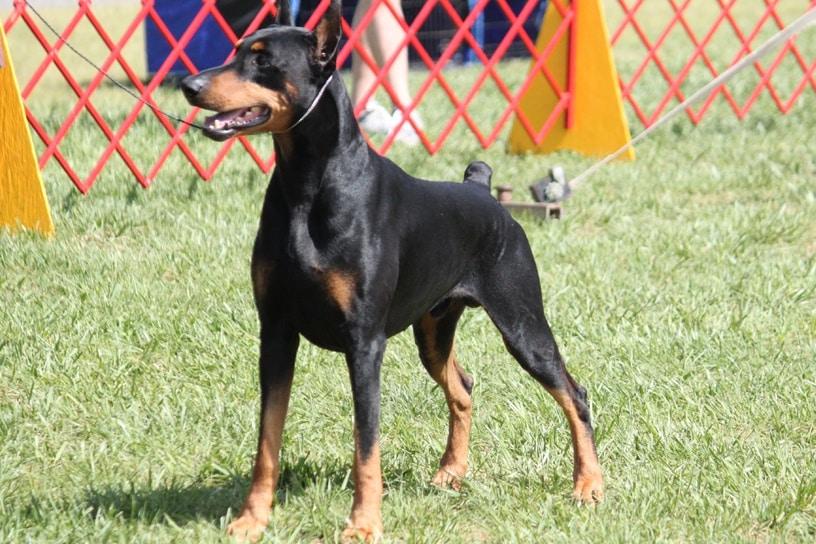 Masalah Kesehatan Yang Kerap Dihadapi Anjing Rottweiler