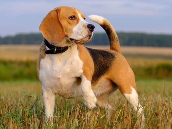 Pakan Terbaik untuk Anjing Beagle