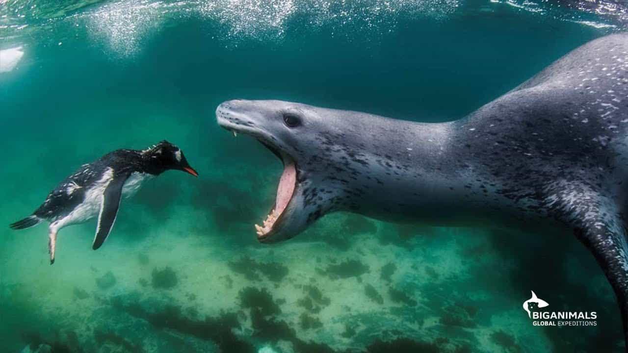 Seal Leopard
