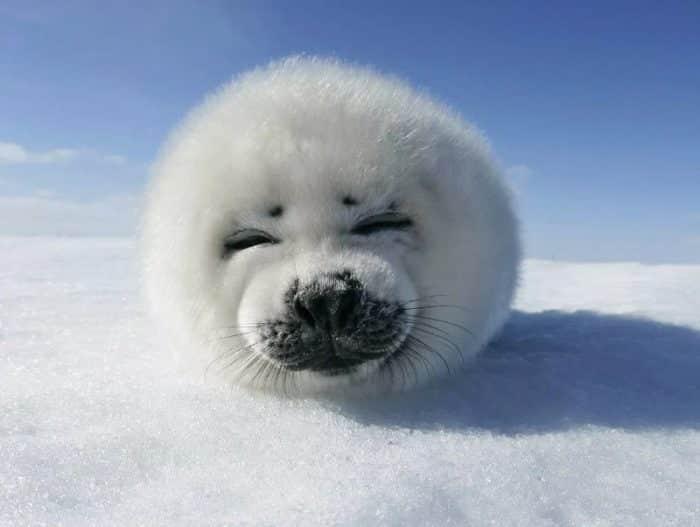 Sejarah / Asal Usul Anjing Laut