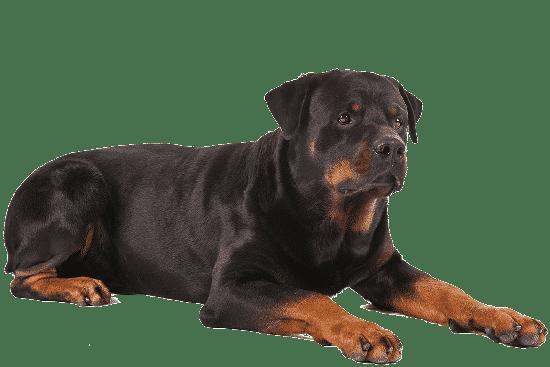 Teknik Perawatan Untuk Anak Anjing Rottweiler