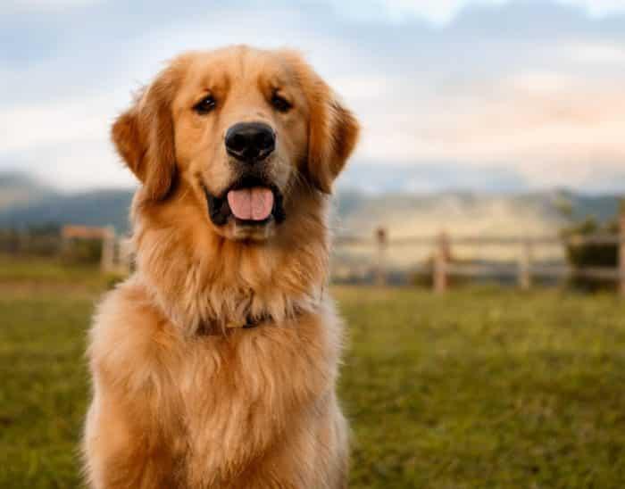 Tipe anjing golden Amerika
