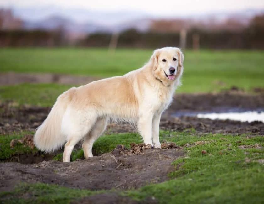 Tipe anjing golden Inggris