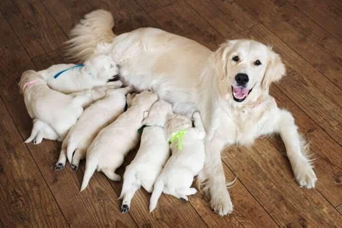 Variasi Jenis Anjing Golden