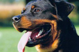 Anjing Rottweiler : Ciri, Penyakit, Kelebihan, Perkembangbiakannya (Lengkap) 3