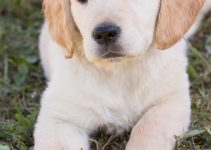 Anjing Golden : Karakteristik, Variasi Jenis, kelebihan, Harga (Lengkap) 2