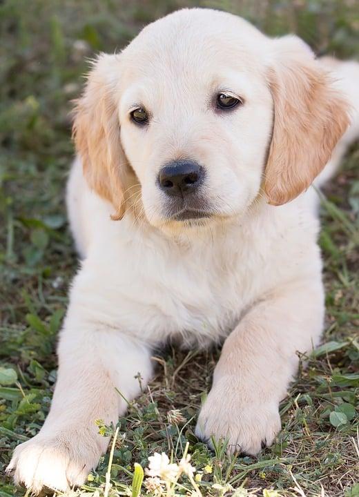 Anjing Golden : Karakteristik, Variasi Jenis, kelebihan, Harga (Lengkap)