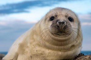 13+ Anjing Laut : Ciri, Jenis, Cara merawat, Melatih, Harganya (sangat lengkap) 6
