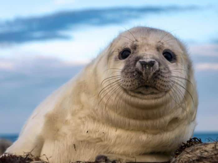 13+ Anjing Laut : Ciri, Jenis, Cara merawat, Melatih, Harganya (sangat lengkap)