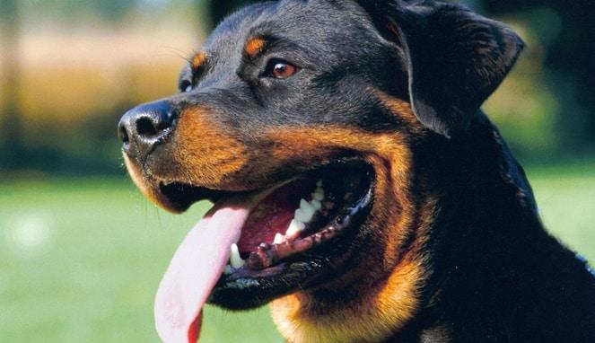 Anjing Rottweiler : Ciri, Penyakit, Kelebihan, Perkembangbiakannya (Lengkap)