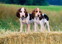 5 Anjing Beagle : Ciri, Variasi Jenis, Perawatannya (Terlengkap) 10