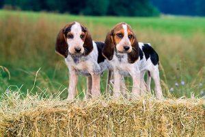 5 Anjing Beagle : Ciri, Variasi Jenis, Perawatannya (Terlengkap) 1