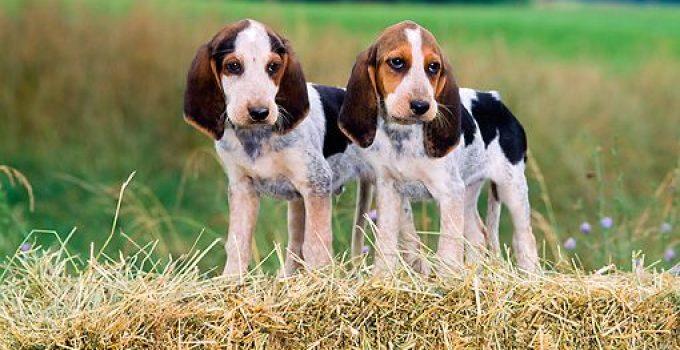 5 Anjing Beagle : Ciri, Variasi Jenis, Perawatannya (Terlengkap) 3