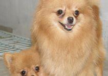 Anjing Pudel : Sejarah, Fungsi, Ciri, Harga Jual (Terlengkap) 11