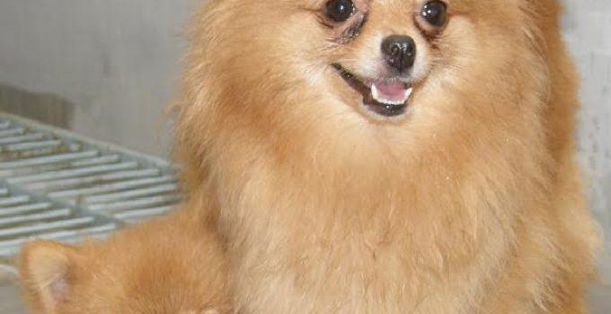 Anjing Pudel : Sejarah, Fungsi, Ciri, Harga Jual (Terlengkap) 5