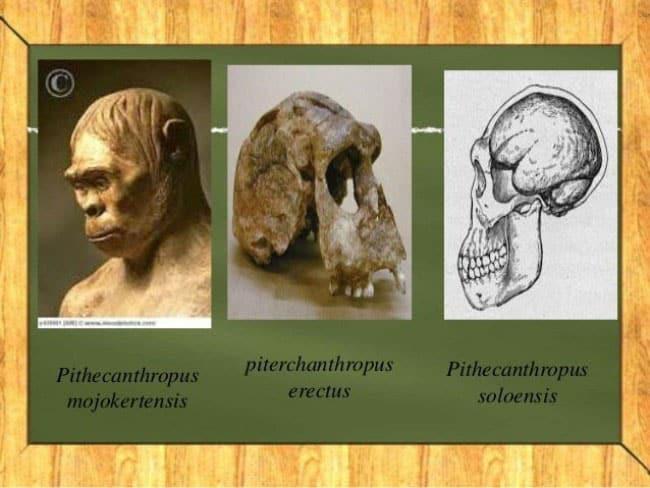 4. Pithecanthropus Mojokertensis