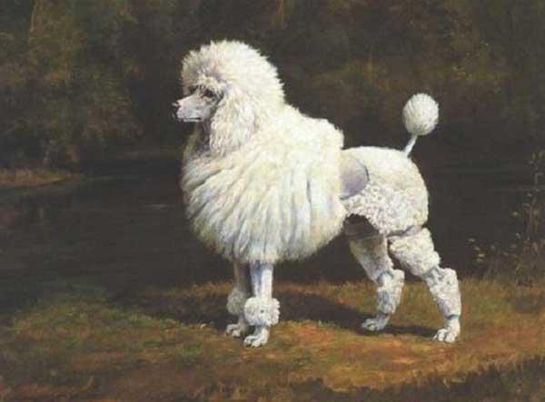 Anjing Pudel : Sejarah, Fungsi, Ciri, Harga Jual (Terlengkap) 7