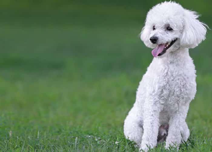 Cara Memandikan Anjing Pudel