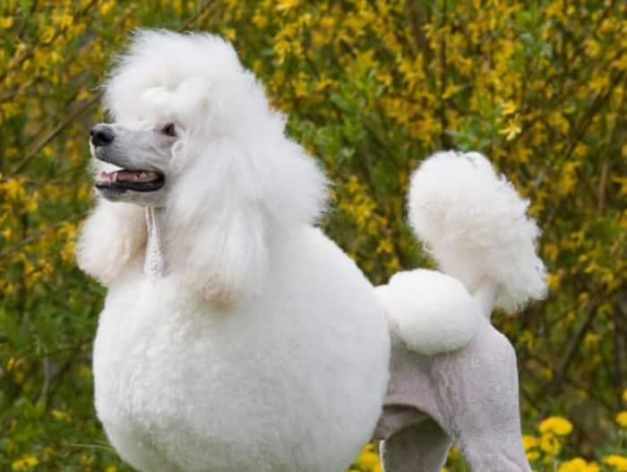 Cara Menangani Anjing Pudel Lahiran