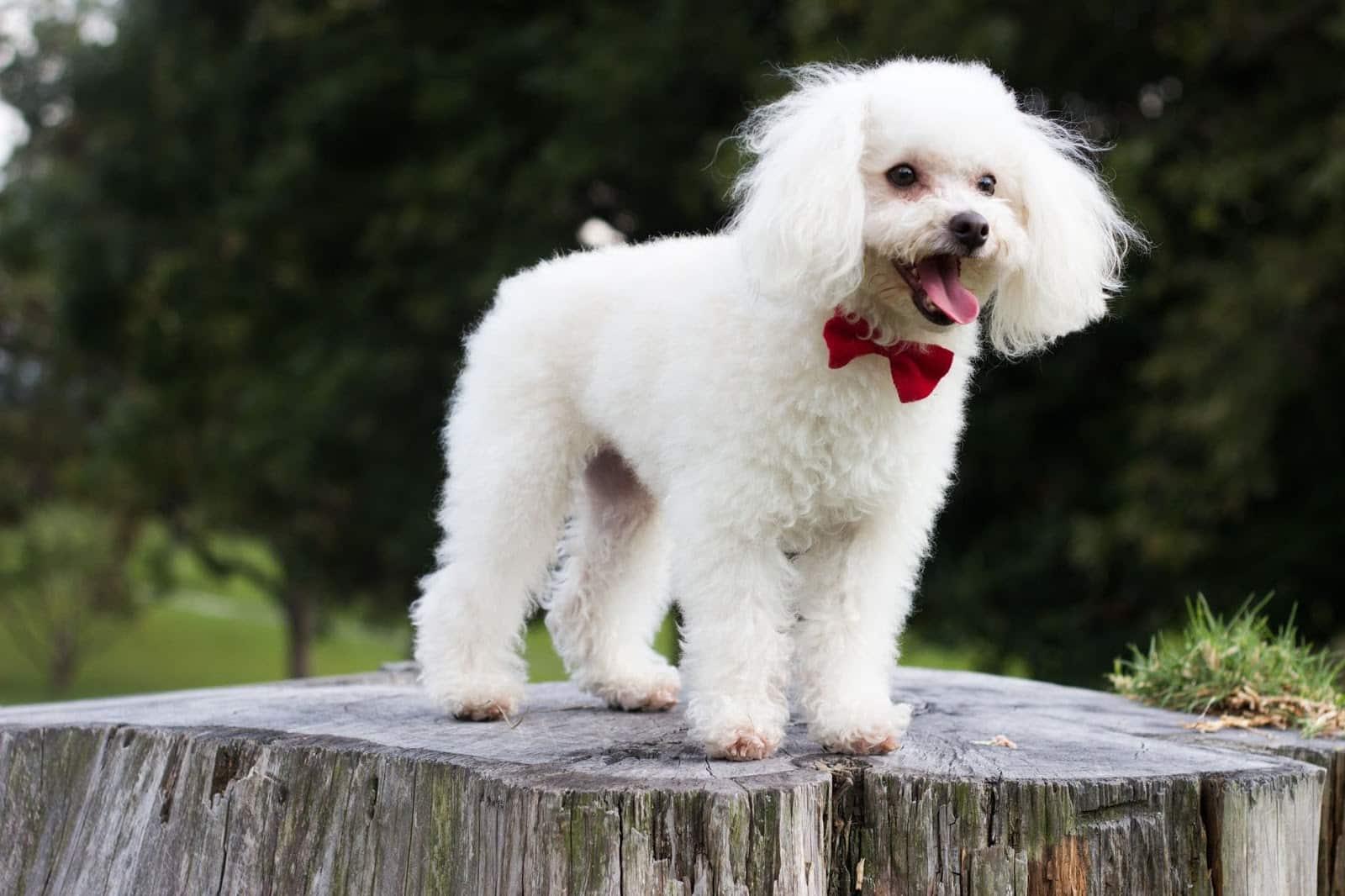 Cara Merawat Kandang Anjing Pudel