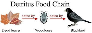 Contoh Rantai Makanan Detritus