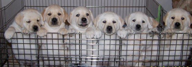 Hal-Hal yang Perlu Diperhatikan Sebelum Membeli Kandang Anjing Pudel